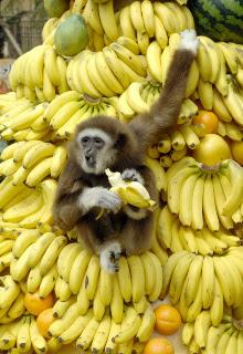 macacobananajpeg