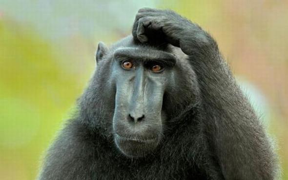 bicho-macaco-cocando-cabeca