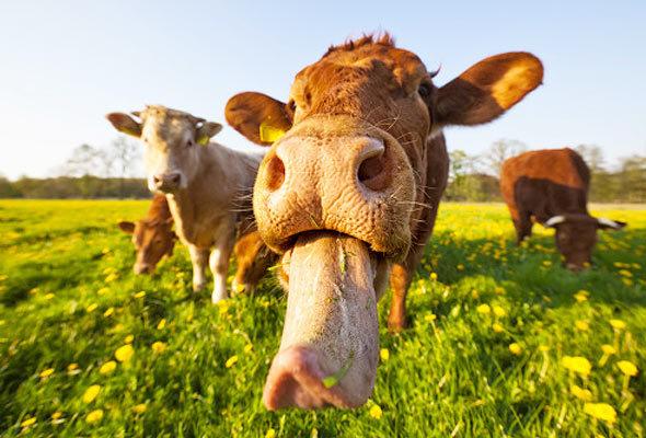 vaca-lingua-baba-saliva-pasto-boi