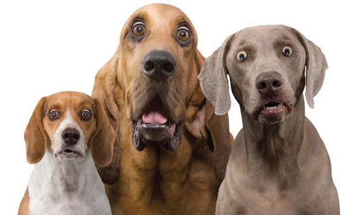 HW_dogs_surprised