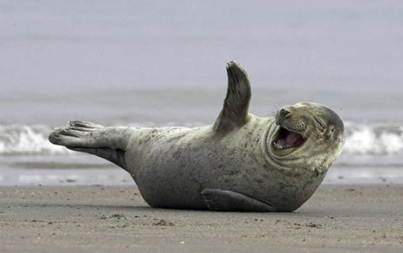 foca rindo