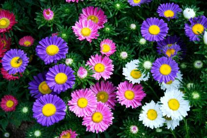 Chinese-aster
