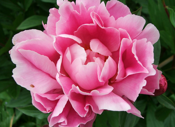 peony-shaded-pink