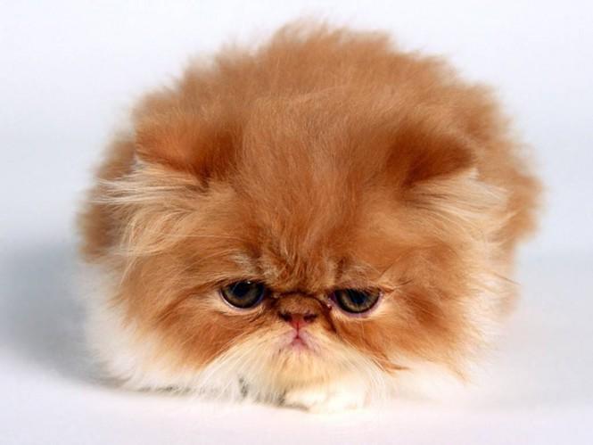 Persian-cat-lazy-mode