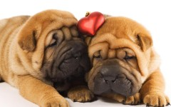 Animals Dogs_Two_shar_pei_puppies_in_love_047887_