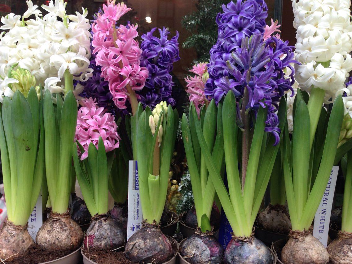 Em casa flores que suportam melhor as altas temperaturas mk - Jacinto planta cuidados ...