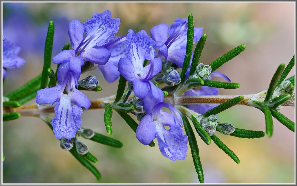 alecrim flor1