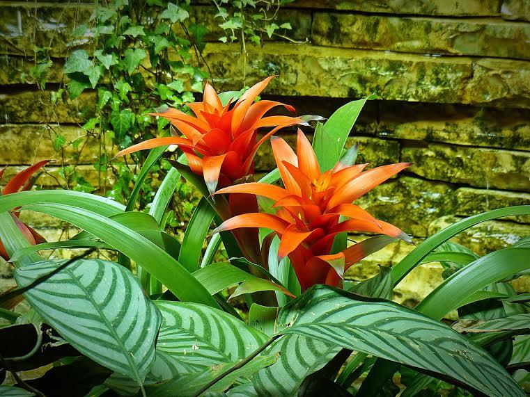 flor-bromelia