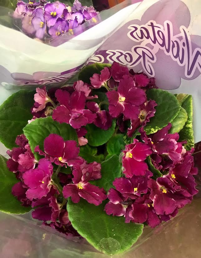 z-violeta